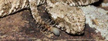 Bizarre Biodiversity: Spider-Tailed Viper