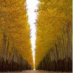 Adaptation, genes and poplar trees