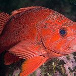 "A new species of rockfish joins the ""flock"""