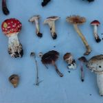 Revealing the Bandoni Fungi Collection