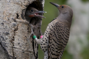Nestlings in the nest: who is your father?