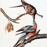 100th Anniversary of Passenger Pigeon Extinction