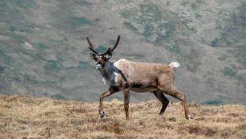 Barren-ground Caribou. Photo: Alfred Cook