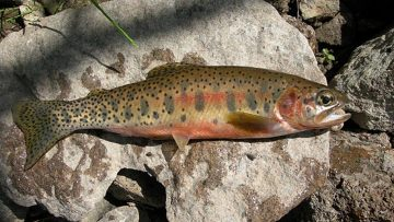 Westslope Cutthroat Trout. Photo credit: USFWS Mountain Prairie