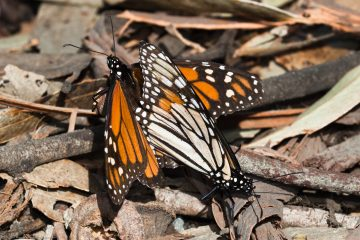 Two Monarch Butterflies Mating, Photo Credit: Mike Baird