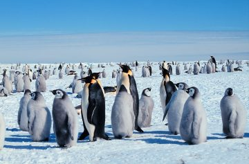 The Emperor Penguin: Mating On Ice