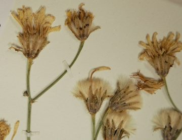 Crepis barbigera