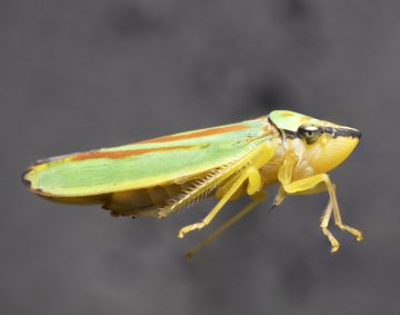 A Colourful Cicadellid