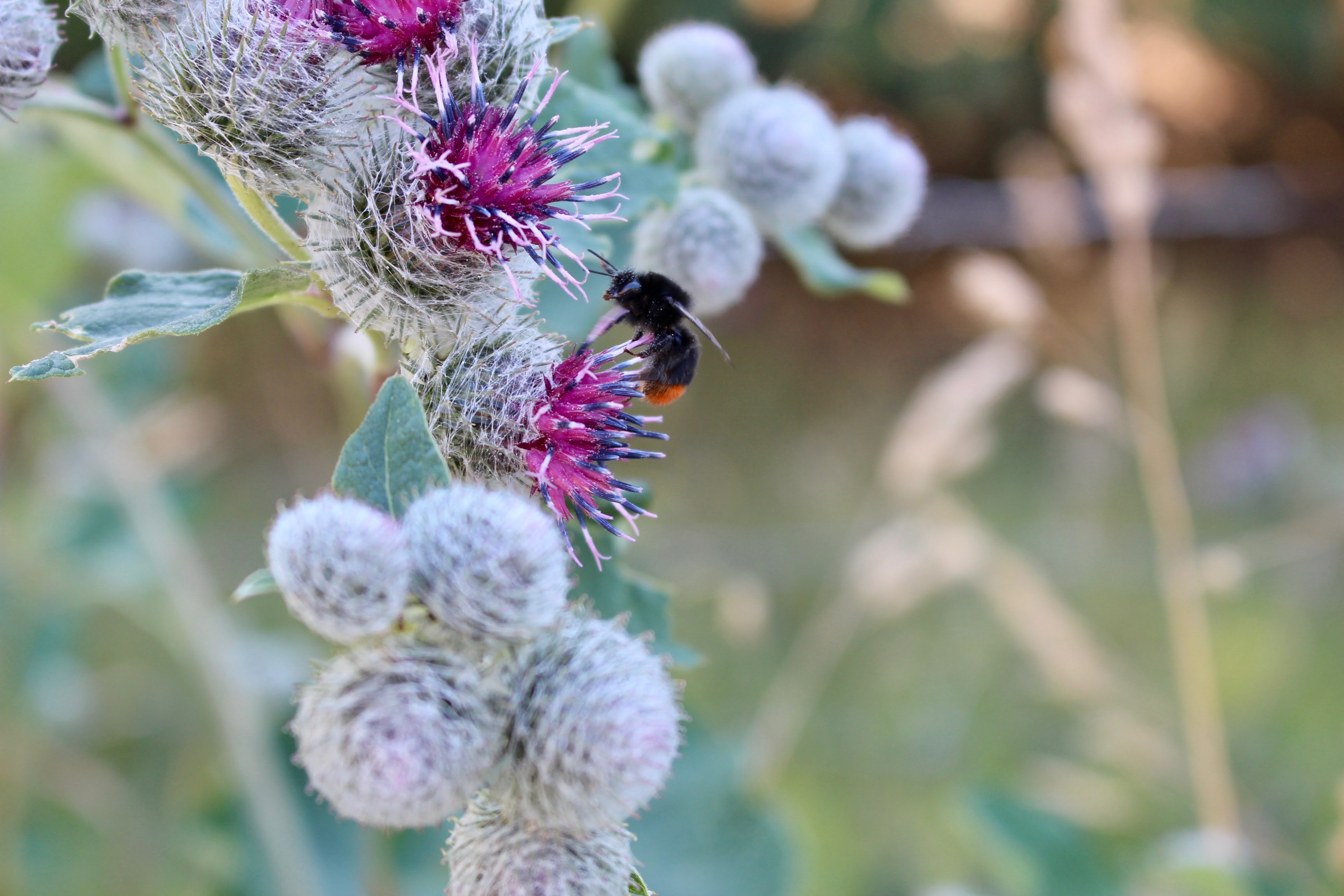 Burdock and Bee