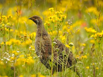 Crouching Photographer, Hidden Grouse