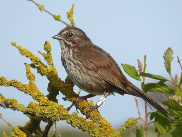 Island life of a song sparrow