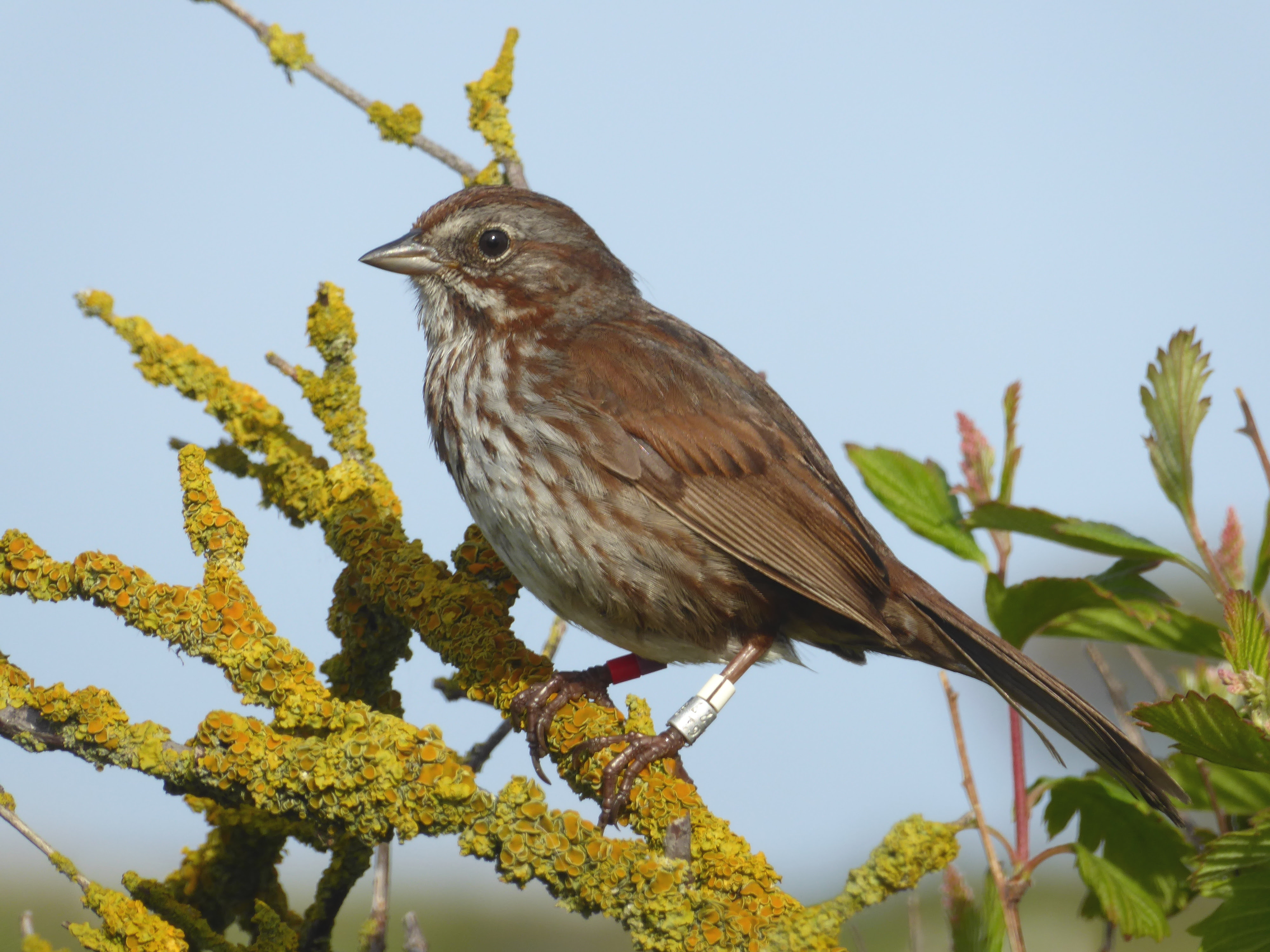 Island life of a song sparrow