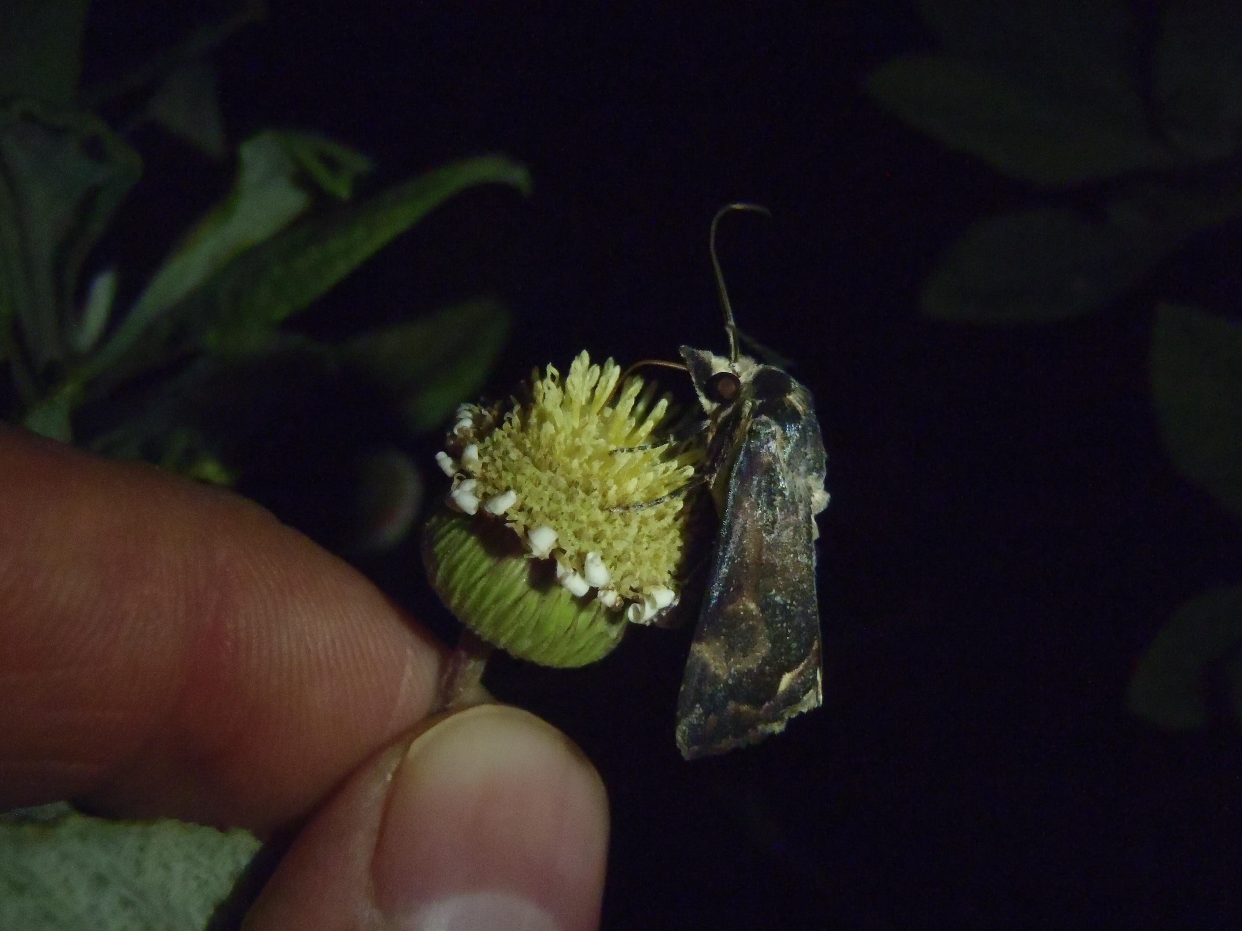 Nightly visit to a St Helena gumwood flower head