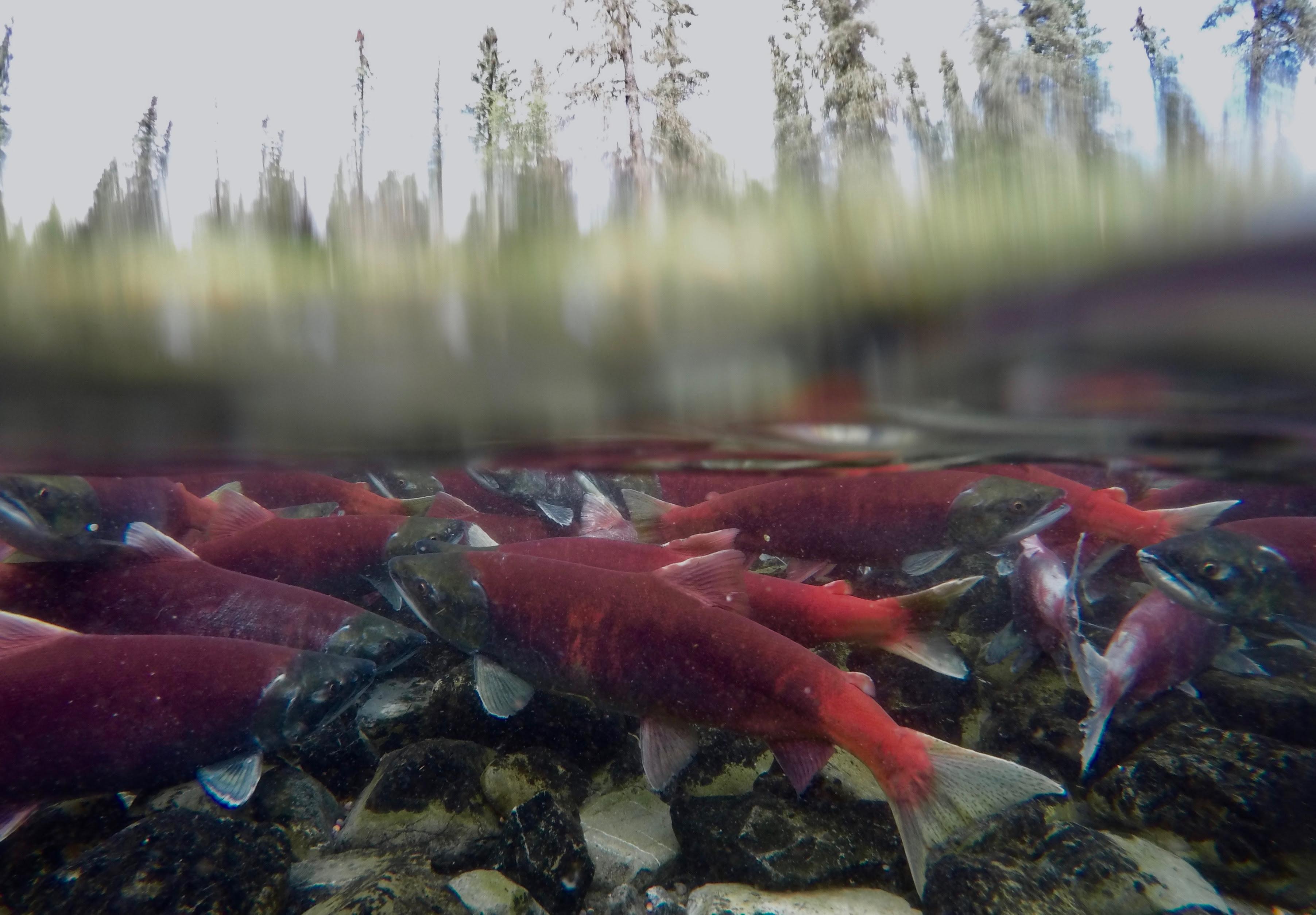 Red Under Spruce