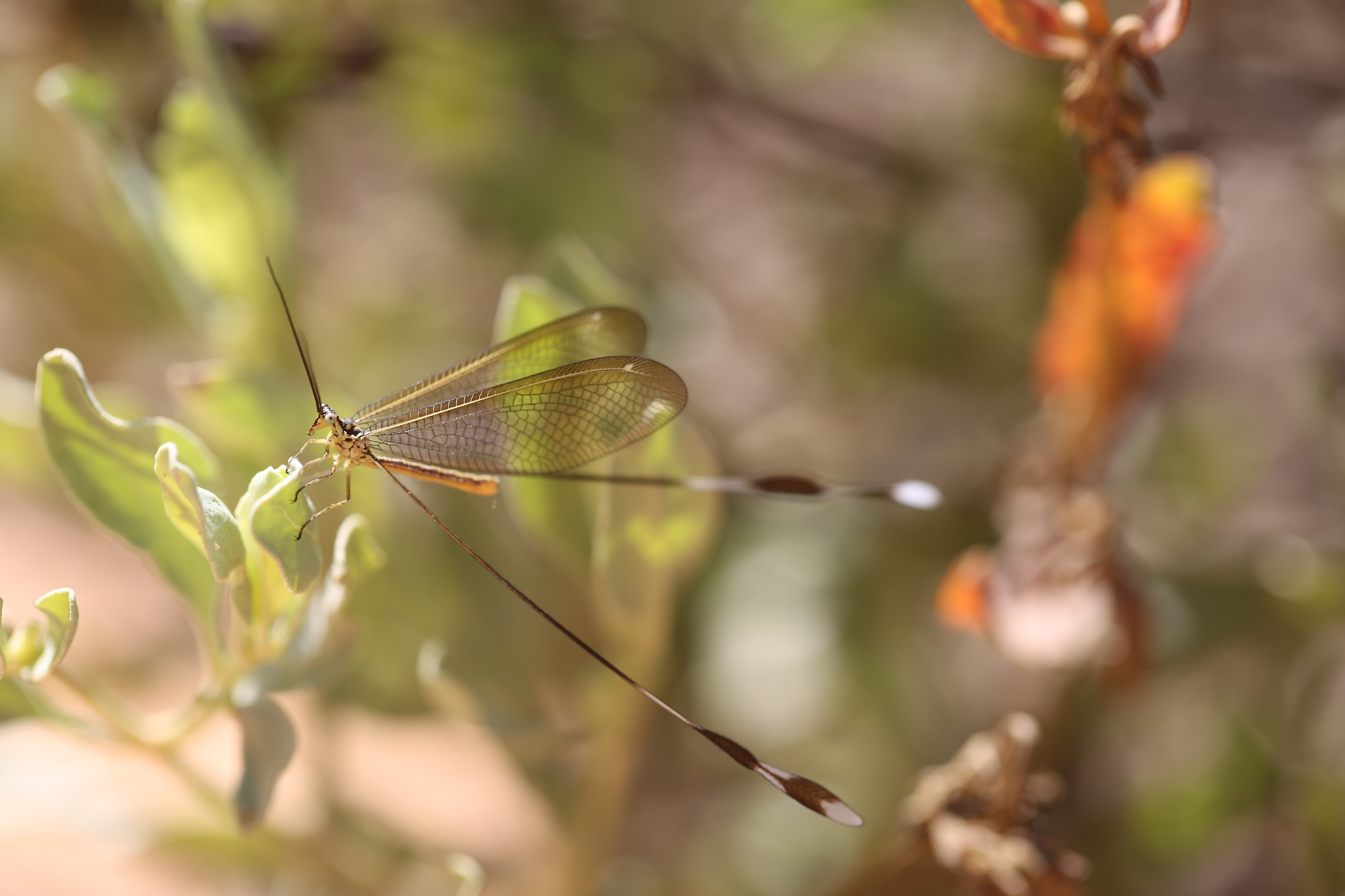 Spoon-winged lacewing