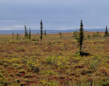 Tree line near Tuktoyaktuk, NWT