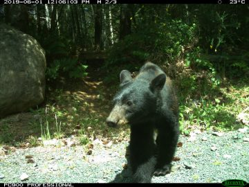 Urban Black Bear
