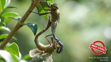 Two dragonflies (Anax junius) copulating on a branch. A red Way Cool ribbon logo on the lower left hand corner. Photo by Dr. Rassim Khelifa