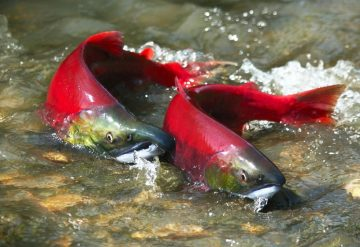 The (poor) state of BC's Pacific salmon and steelhead trout