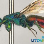 Cuckoo wasp; Chrysis provancheri; a green wasp with red abdomen on a pin.