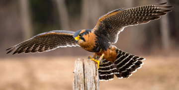 Falcons in Waist Coats